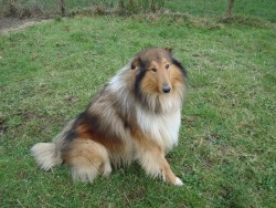 Rough Collie for Stud for sale