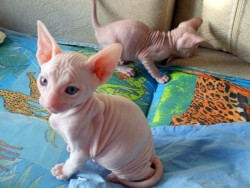 Findhairless Pedigree Healthy Sphynx Kittens Various COlors For Good Homes