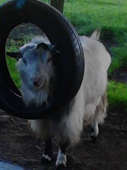 Pygmy billy goat for salr