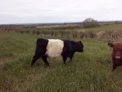 Belted Galloway / Beltie Bull 17 mths old