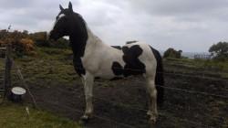 Piebald horse at stud