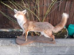 old stuffed fox