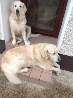 Golden Retriever dog for stud (not for sale). Lovely big dog. Registered with both kennel Clubs.