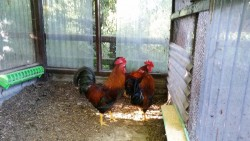 Wellsummer roosters for sale