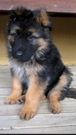 Large German shepherd pups