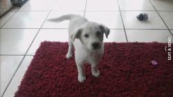 labrador samoyed pup