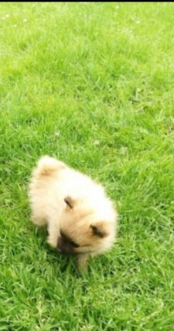 !!!! FULL BRED MINIATURE POMERANIAN PUPPIES FOR SALE !!!!
