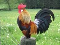 Wanted 3 bantams hens and bantam rooster