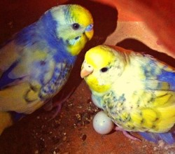 budgies, all colours