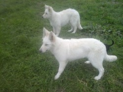 white german sheperds pups quick sale needed