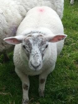 Charollai Texal cross ram lamb
