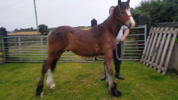 Friesian x clydesdale foal