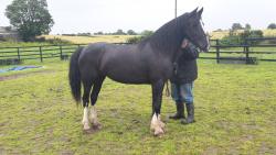 14.2hh mare for sale