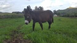 Donkey female