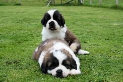 IKC St bernard pups for sale