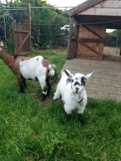 pygmy goat kid for sale