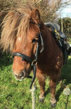 Shetland Stallion