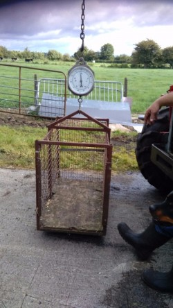 Sheep weighing scales complete with crate