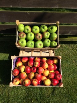 Delicious eating,Bramley cooking apples& conference pears