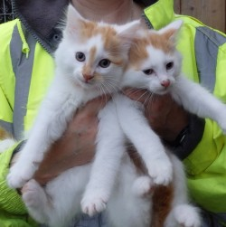 Gizmo & Bubbles, 2 beautiful kittens need a loving home