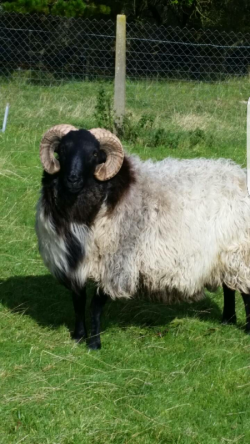 Mayo Mountain Hogget Ram