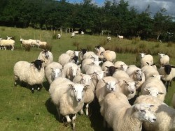 Hoggets for sale