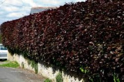 Bare root hedging order now