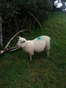 Dorset cross ram lamb
