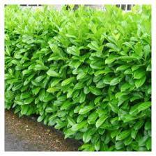 Laurel hedging 1.5-2 ft high