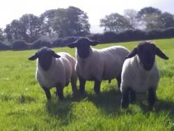 Pedigree Suffolk Shearlings