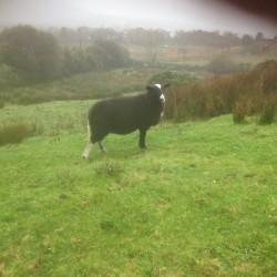 Zwartble ram lambs