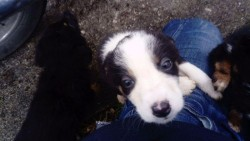Collie x rottweiler pups