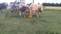 5 continental bull weanlings 280 kgs