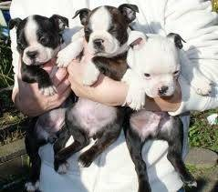 Boston Terrier Puppies For Adoption