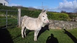 Mare donkey white
