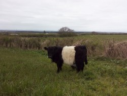 Belted Galloway / Beltie Bull Calf 15 mths old
