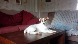Wanted Jack Russel male