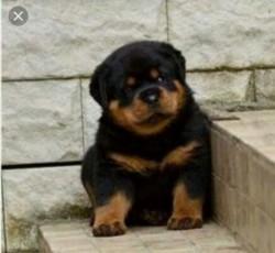 Pedigree Rottweiler Puppies