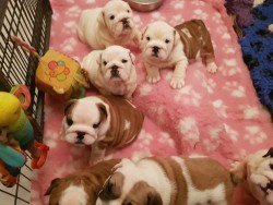 4 Adorable Kc Registered British Bulldog Puppies