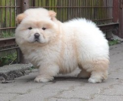 Beautiful Kc Registered Chow Chow Puppy.