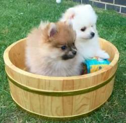 Luxury Pomeranian Puppy Boy.