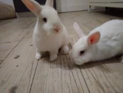 Small breed rabbits.