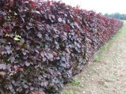 Bare root hedging plants