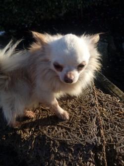Chihuahua at stud.
