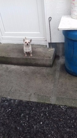 i,k,c,reg,stud pure breed chihuahua for stud
