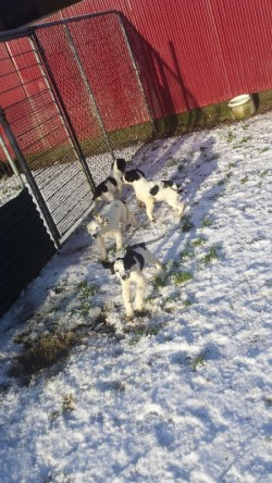 5 month old IKC Springer Spaniels pups for sale.