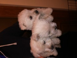 West Highland terrier pups