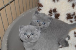 British Shorthair Kittens Available For Good Homes