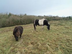 **5 Star**Home Wanted For Shetland Pony