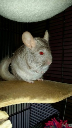 Male chinchilla with large cage and accessories